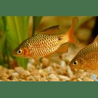 Барбус вогненний (Barbus conchonius, Puntius conchonius)