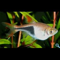 Расбора гетероморфа (Rasbora heteromorpha, Trigonostigma heteromorpha)