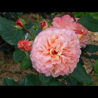 Троянда Августа Луїза (Augusta Luise)