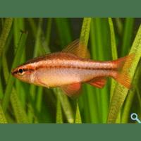 Барбус вишневий (Puntius titteya, barbus titteya, capoeta titteya)