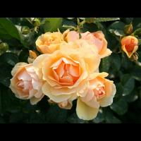 Троянда Ханзештадт Росток (Hansestadt Rostock)