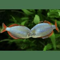 РАДУЖНІЦА НЕОНОВА (Melanotaenia praecox)