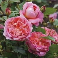 Троянда Боскобель (Boscobel)