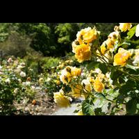 Троянда Авеню Єллоу (Avenue Yellow)