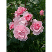 Троянда Авеню Пінк (Avenue Pink)
