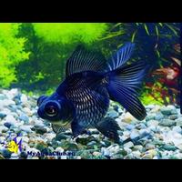 рибка телескоп, вуалехвіст