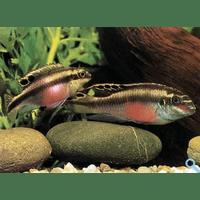 Папуга (Pelvicachromis pulcher, Pelvicachromis kribensis)