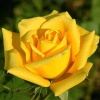 Троянда Соло Єллоу (Solo Yellow)