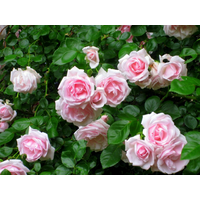 Троянда Нью Даун (New Dаwn)
