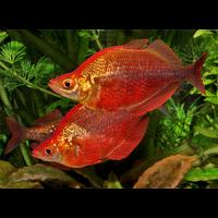 Атеріна червона, радужник гребінчастий (Glossolepis incisus)