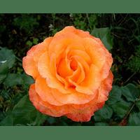 Троянда Соло Оранж (Solo Orange)