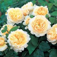 Троянда Крокус (Crocus)