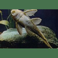 Плекостомус. Hypostomus plecostomus. Сем. Loricariidae (Кольчужные сомы)