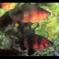 Барбус чорний (Barbus nigrofasciatus)