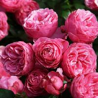 Троянда Помпонелла (Pomponella)