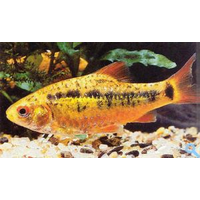 Барбус Шуберта (Barbus semifasciolatus