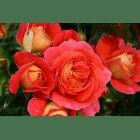 Троянда Гербрюдер Грімм (Gebruder Grimm)