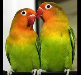 Папуга (нерозлучник)