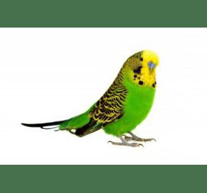 Хвилястий папужка