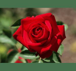 Троянда Соло Ред (Solo Red)