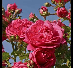 Троянда Лагуна (Laguna)