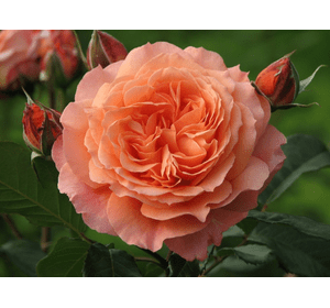 Троянда Бельведере (Belvedere)