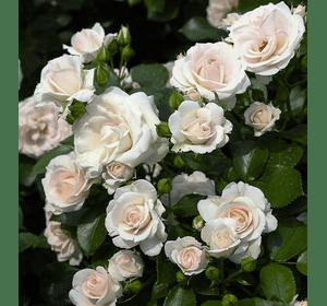 Троянда Аспірін Розе (Aspirin-Rose)