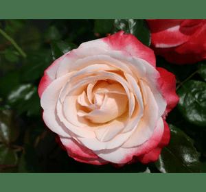 Троянда Ностальжі (Nostalgie)