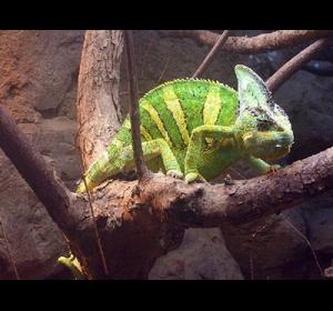 хамелеон єменський
