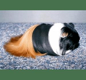 Морська свинка шелті