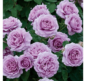 Троянда Блю Мун (Blue Moon)