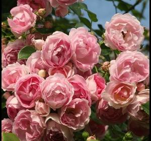 Троянда Іден Роуз (Eden Rose)
