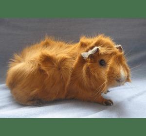 Морська свинка розетка