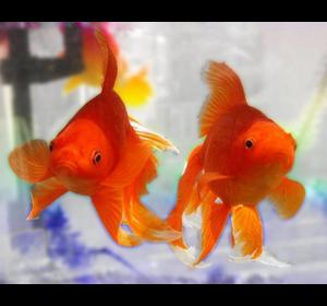 Вуалехвіст/Золота рибка