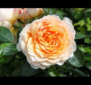 Троянда Джинджер Сілабаб (Ginger Syllabub)