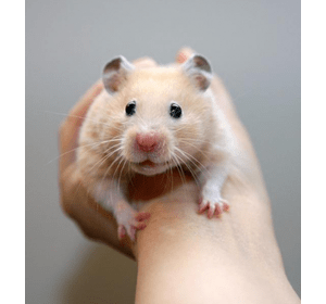 Сирійський хомячок