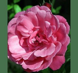 Троянда Етюд (Etude)